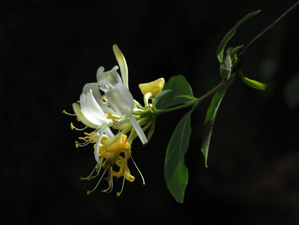 Foto/billede af Almindelig Gedeblad (Lonicera periclymenum)