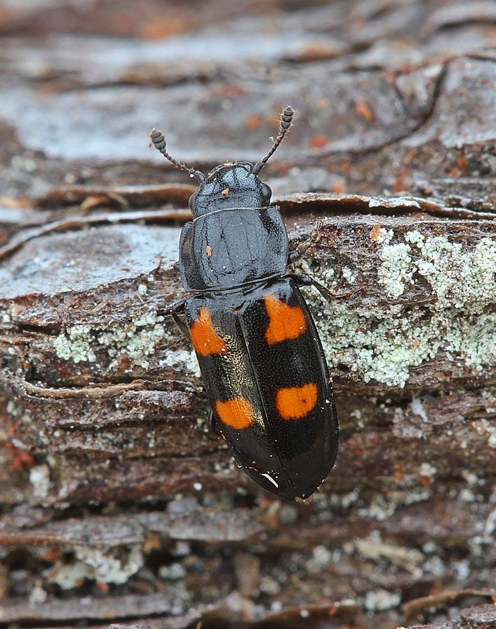 Glischrochilus quadripunctatus