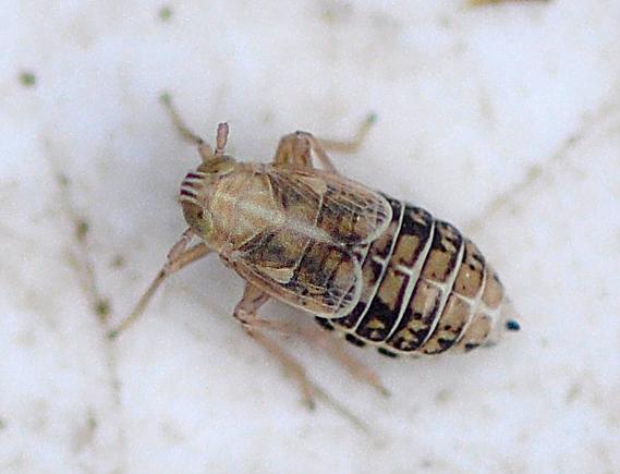 Græssporecikade (Dicranotropis hamata)