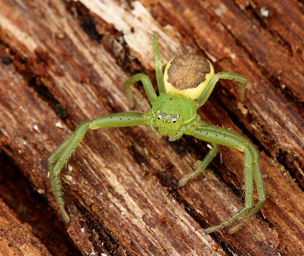 Grøn Krabbeedderkop (Diaea dorsata)