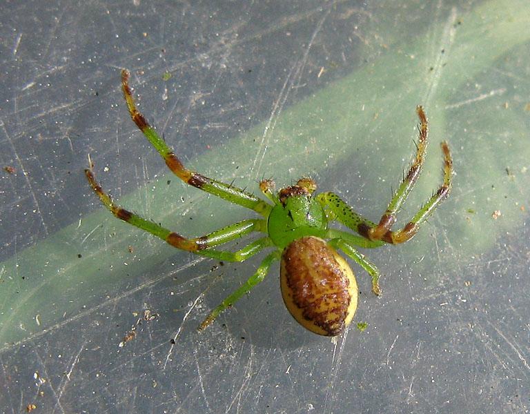 Foto/billede af Grøn Krabbeedderkop (Diaea dorsata)