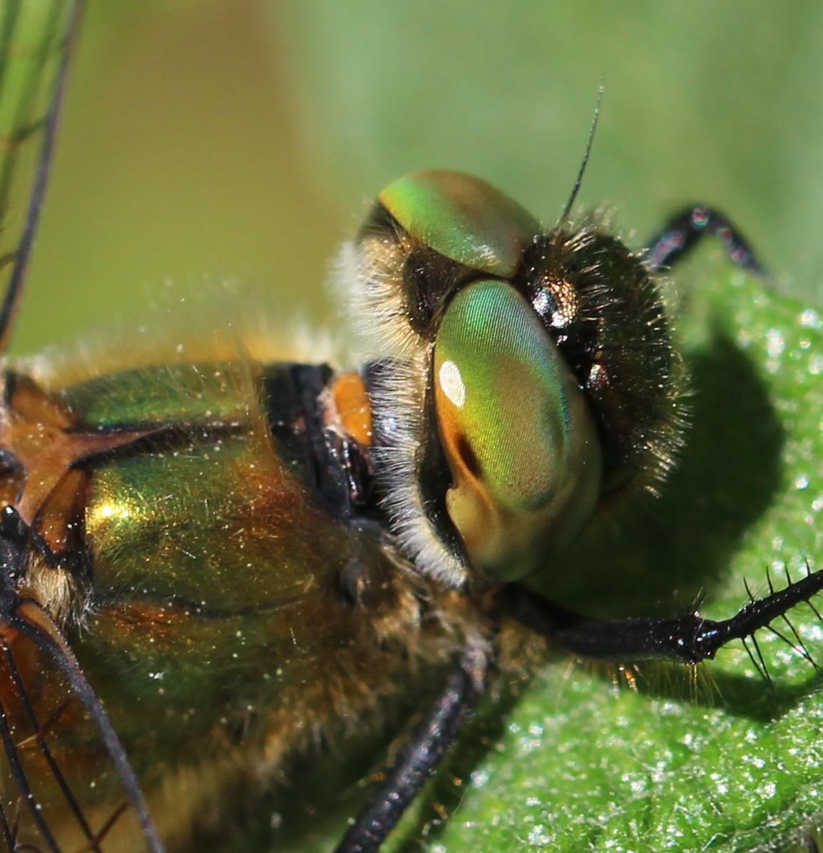 Grøn Smaragdlibel