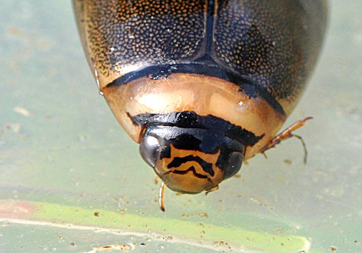 Foto/billede af Lys Skivevandkalv (Graphoderus bilineatus)