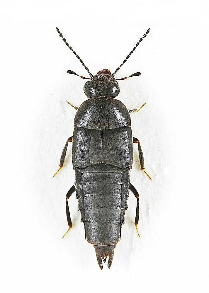 Gymnusa brevicollis (Gymnusa brevicollis)