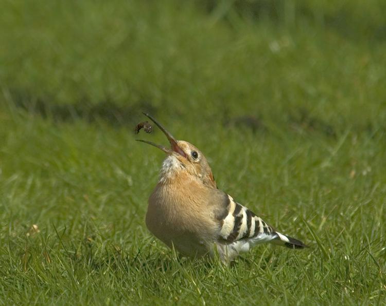 Foto/billede af Hærfugl (Upupa epops)