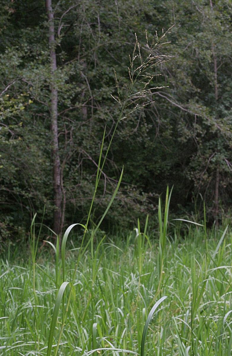 Foto/billede af Høj Sødgræs (Glyceria maxima)