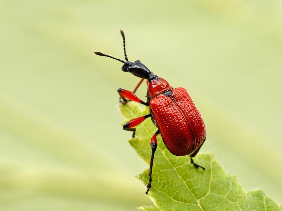 Foto/billede af Hasselbladruller (Apoderus coryli)
