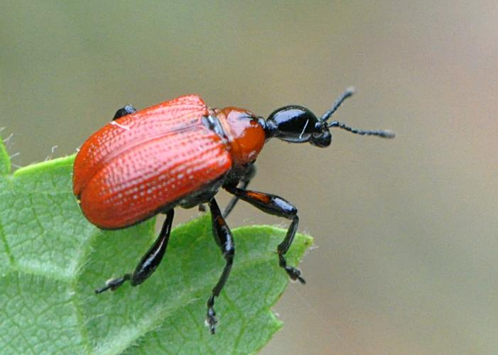 Hasselbladruller (Apoderus coryli)