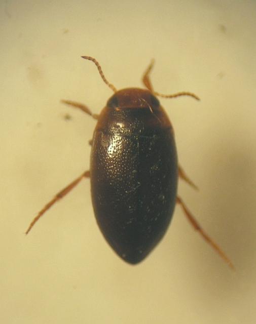 Hydroporus obscurus (Hydroporus obscurus)