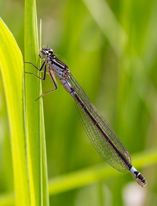 Foto/billede af Hue-vandnymfe (Coenagrion armatum)
