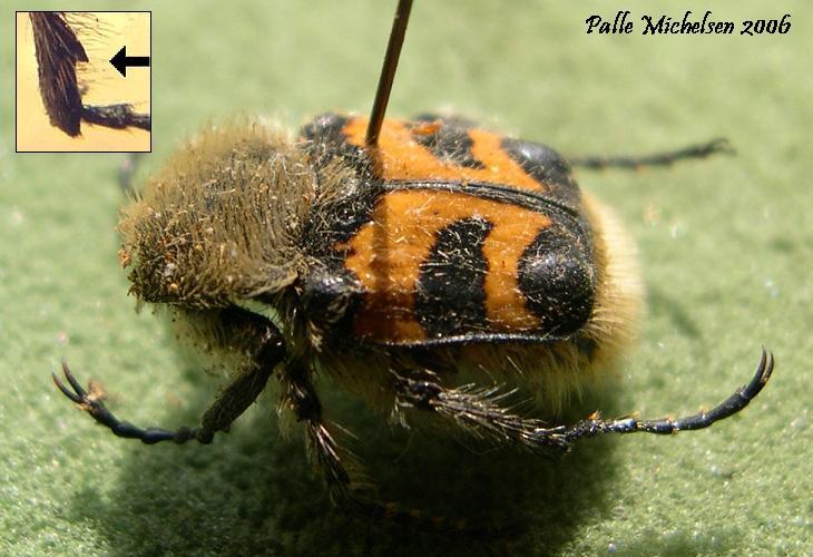 Foto/billede af Stor Humlebille (Trichius fasciatus)