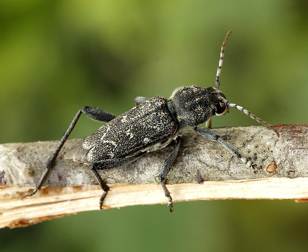 Sortgrå Hvepsebuk (Rusticoclytus rusticus)
