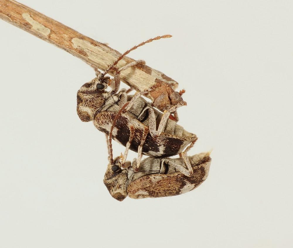 Hvidbroget Borebille (Ptinomorphus imperialis)