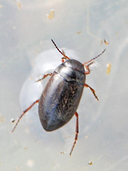 Hydroporus elongatulus
