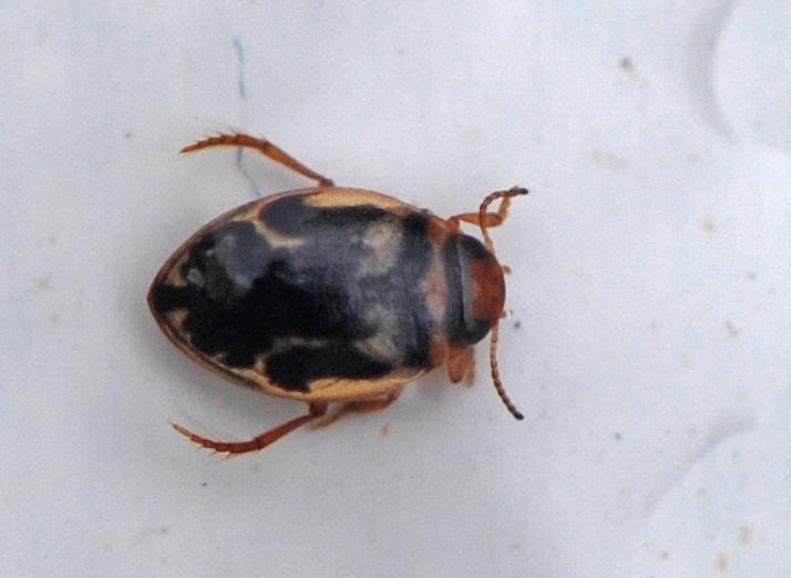 Foto/billede af Hygrotus inaequalis (Hygrotus inaequalis)
