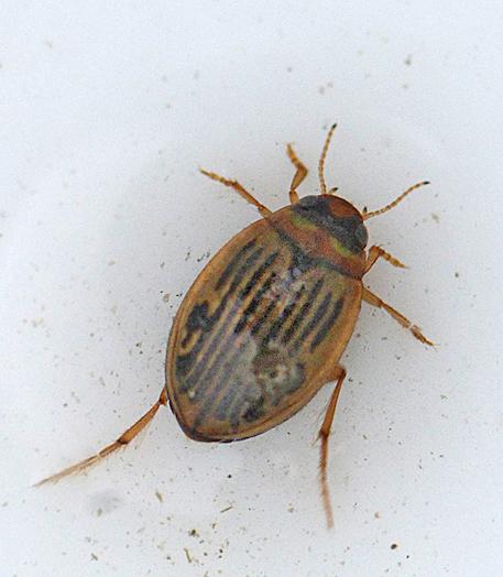 Hygrotus nigrolineatus (Hygrotus nigrolineatus)