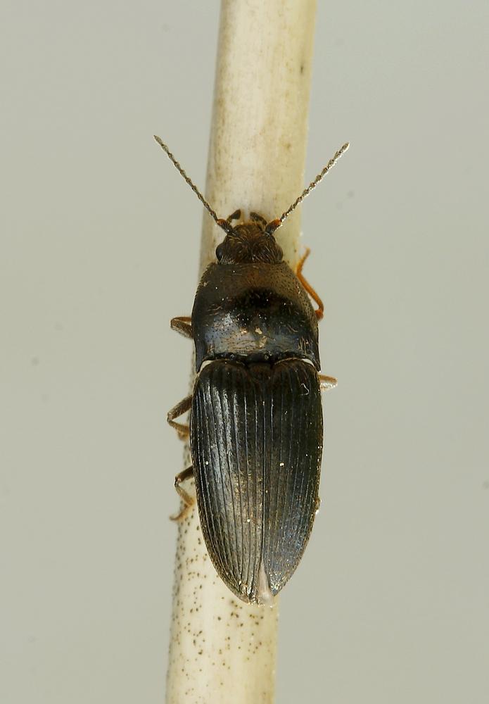 Hypnoidus riparius (Hypnoidus riparius)