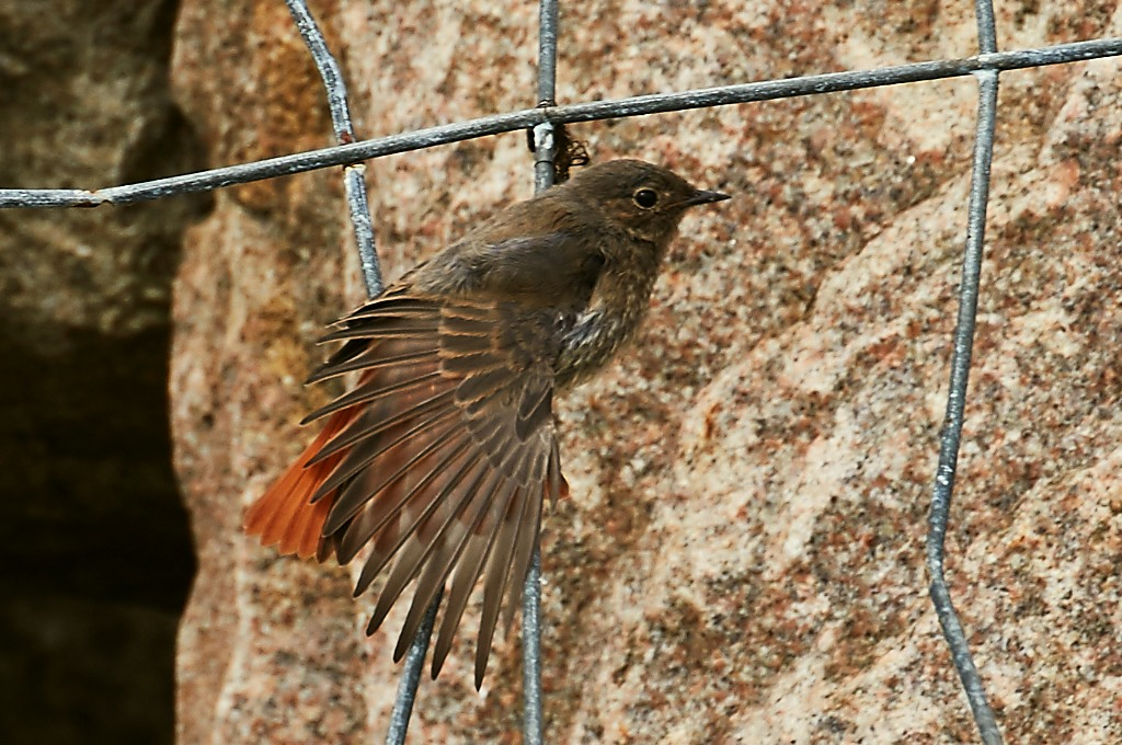 Foto/billede af Husrødstjert (Phoenicurus ochruros)
