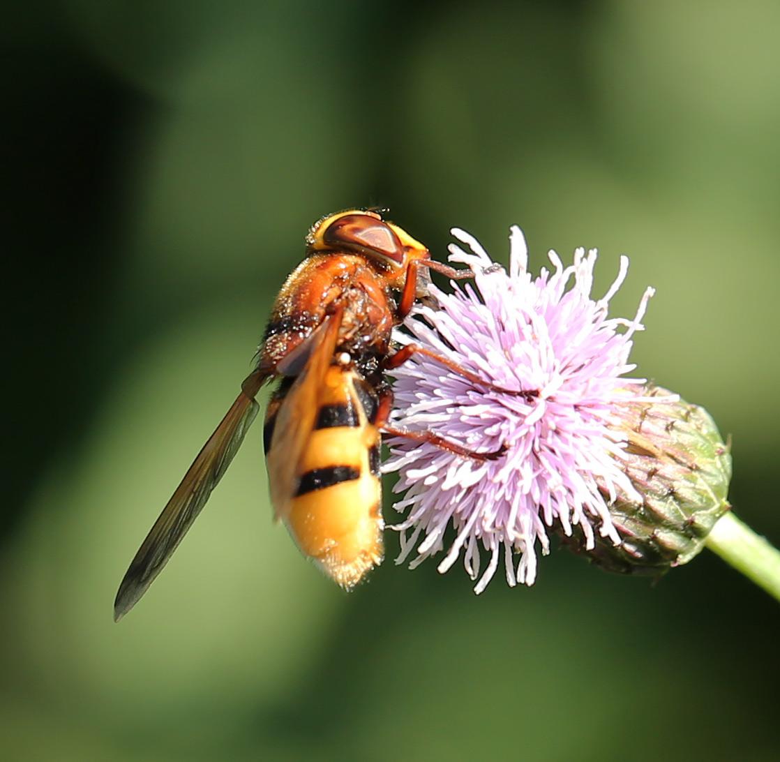 Foto/billede af Stor humlesvirreflue (Volucella zonaria)
