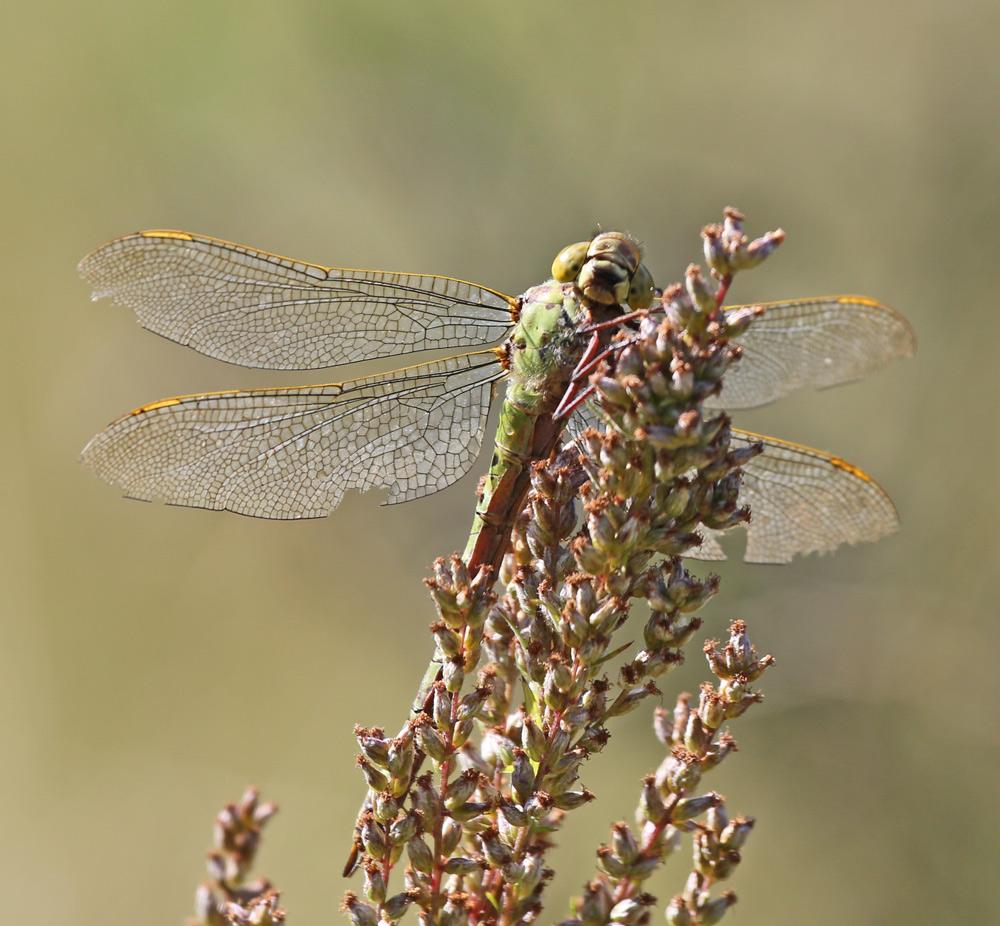 Foto/billede af Grøn Mosaikguldsmed (Aeshna viridis)