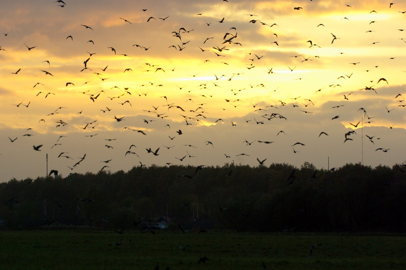 Foto/billede af Kragefugl ubest. (Corvidae indet.)