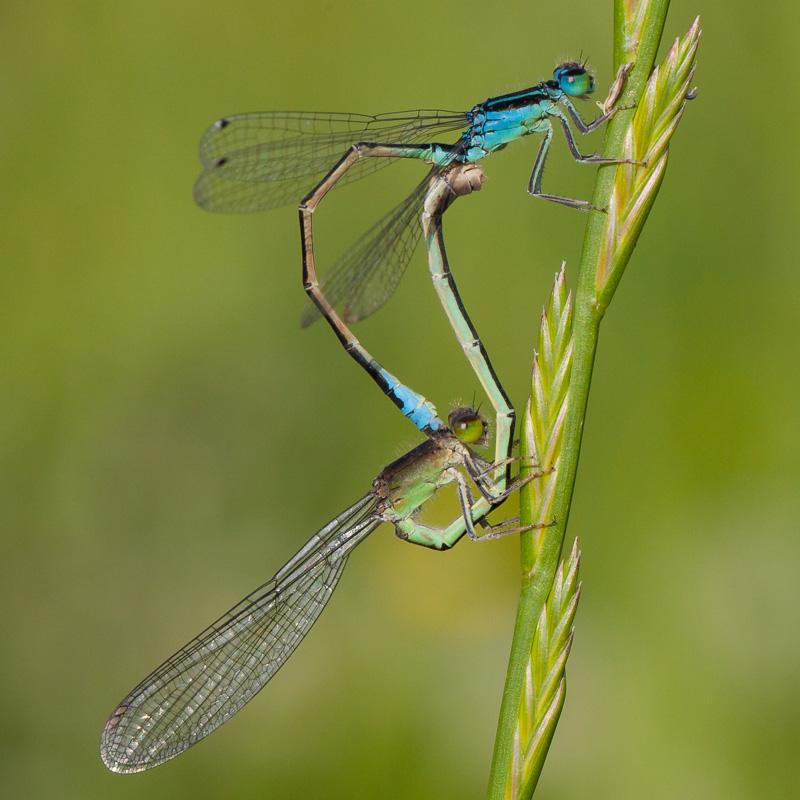Lille Farvevandnymfe (Ischnura pumilio)