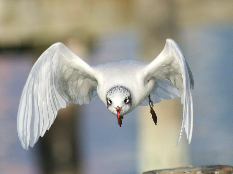 Foto/billede af Sorthovedet m�ge (Larus melanocephalus)