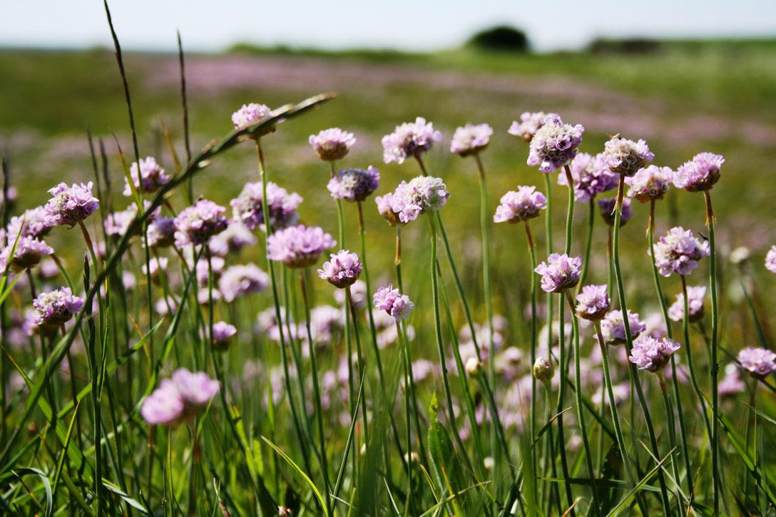 Strand-Engelskgræs (Armeria maritima ssp. maritima)