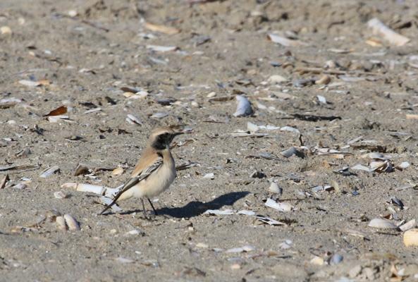 Foto/billede af Ørkenstenpikker (Oenanthe deserti)