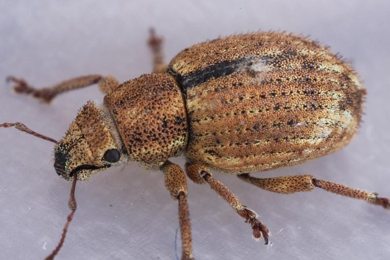 Stribet Gråsnude (Strophosoma melanogrammum)