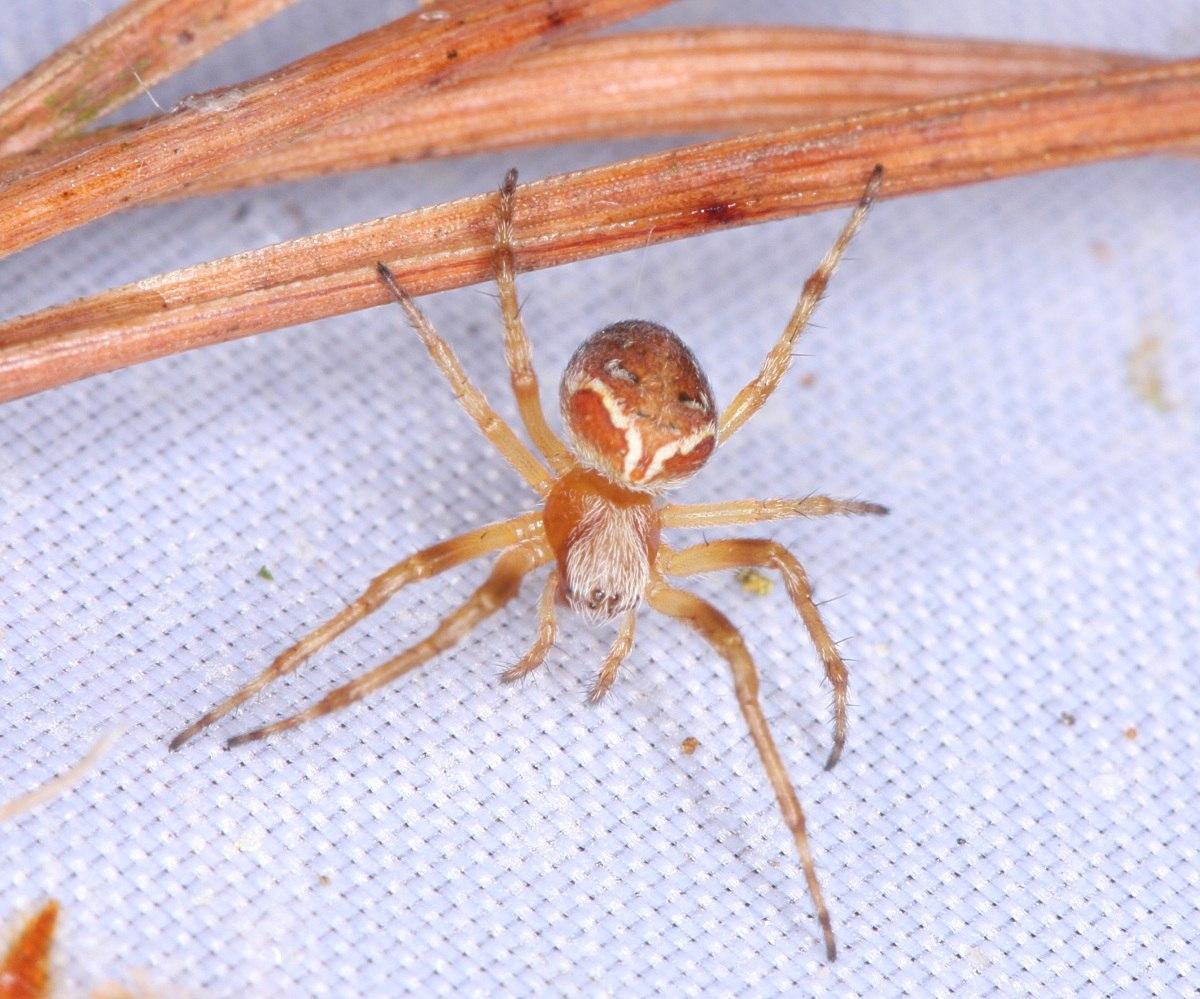 Araneus sturmi (Araneus sturmi)