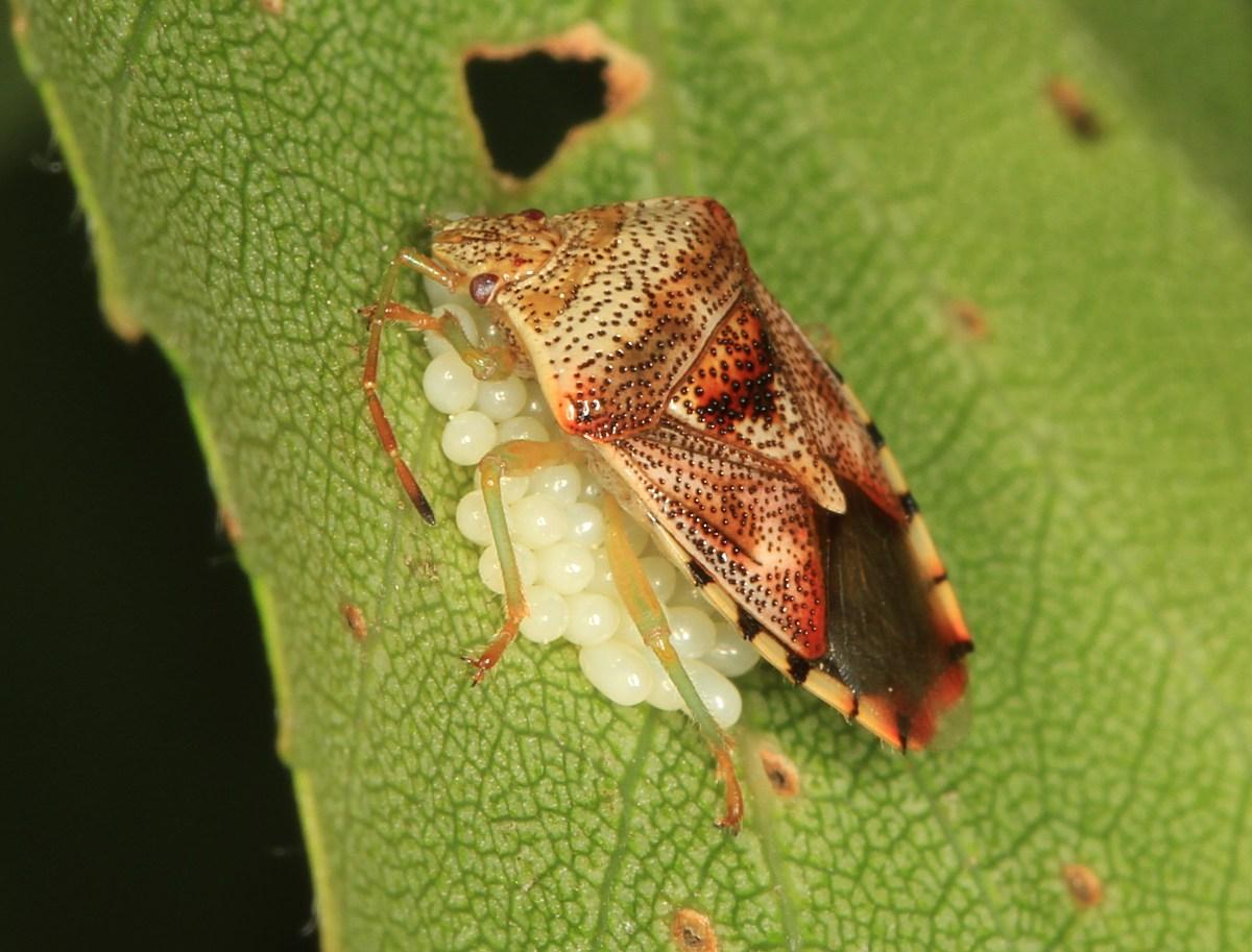 Almindelig Birketæge (Elasmucha grisea)