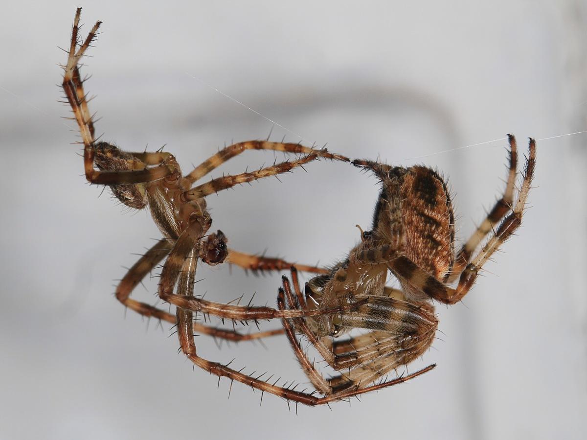 Korsedderkop (Araneus diadematus)