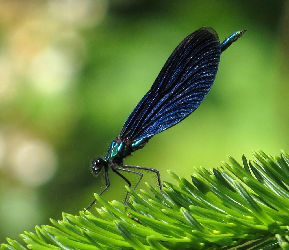 Foto/billede af Blåvinget pragtvandnymfe (Calopteryx virgo)