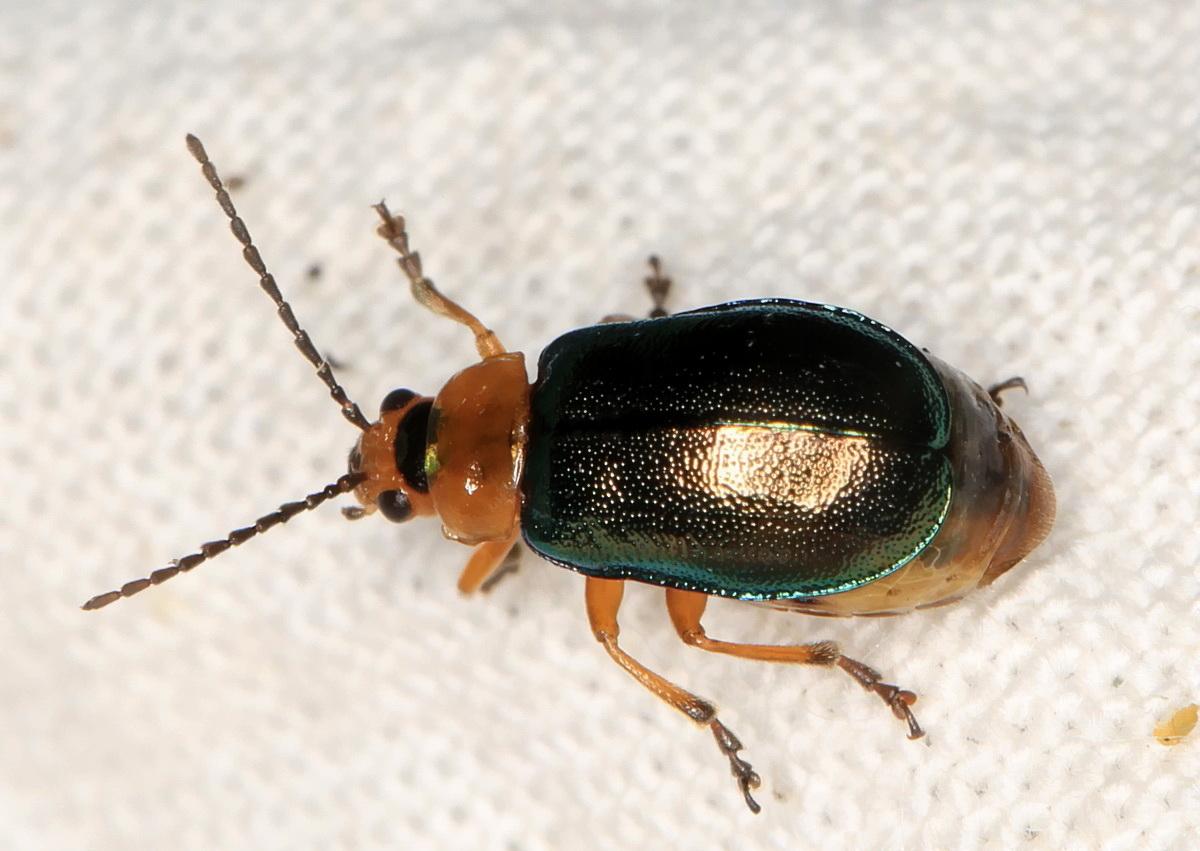 Sermylassa halensis