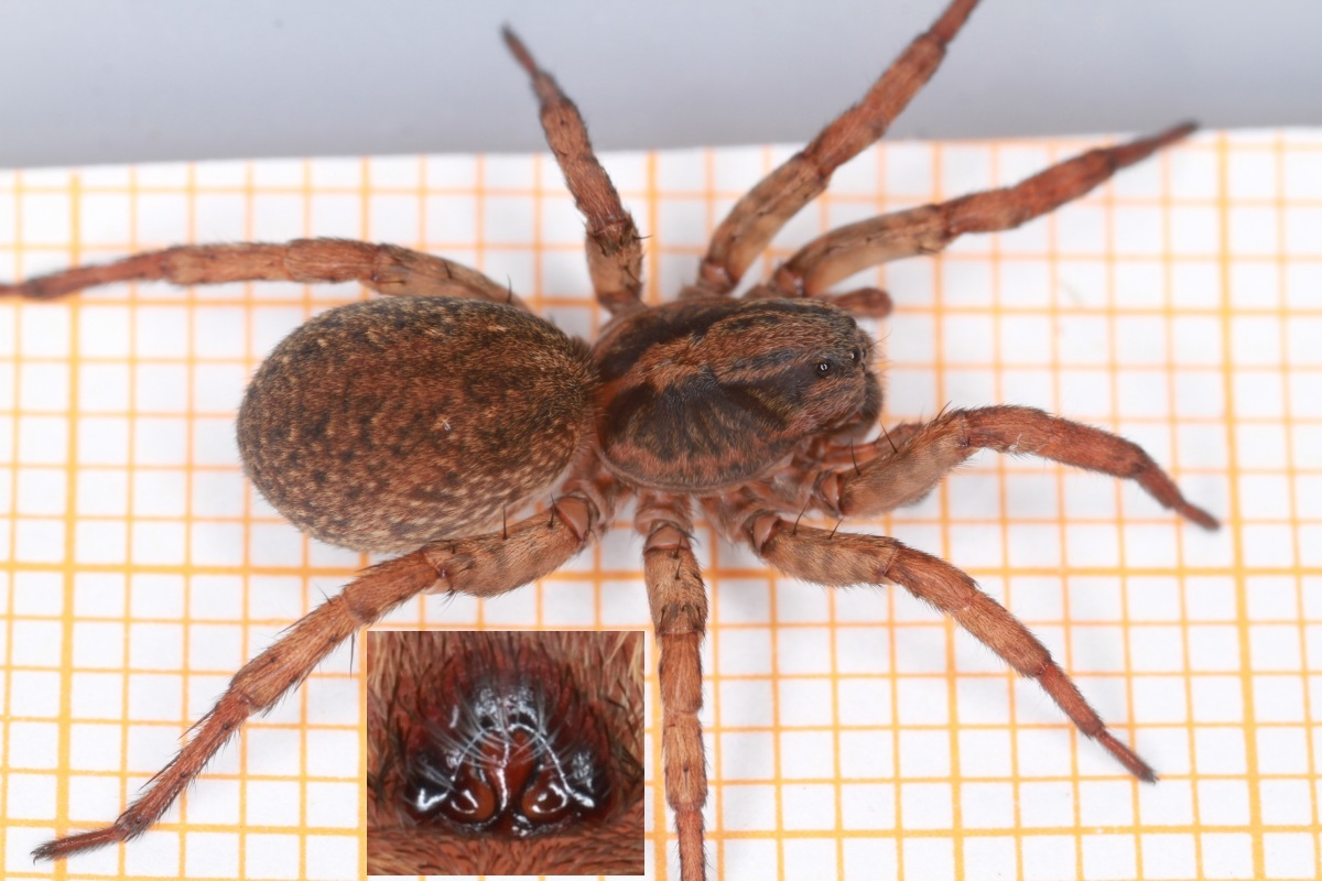 Almindelig Bjørneedderkop (Trochosa terricola)