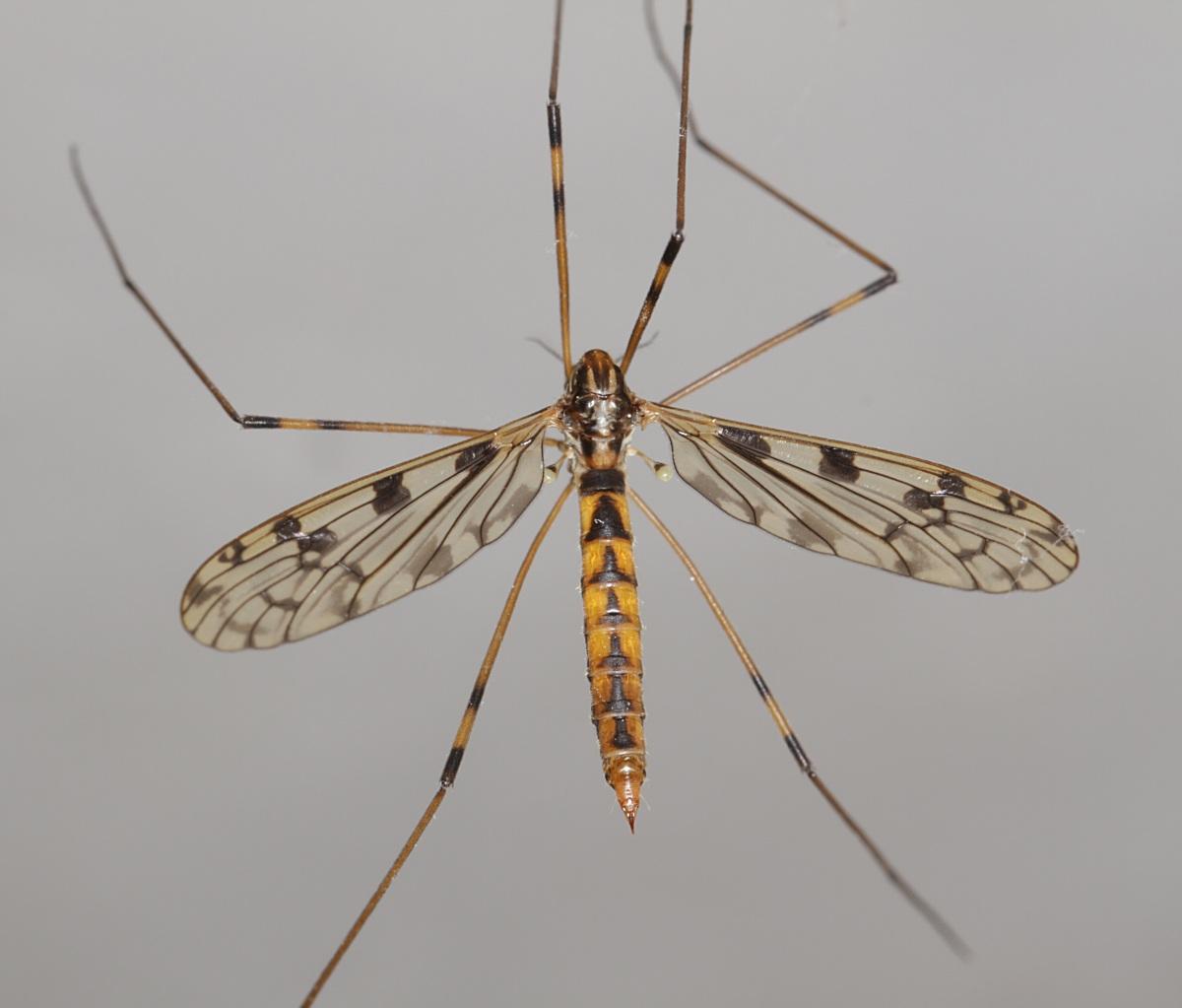 Metalimnobia quadrimaculata