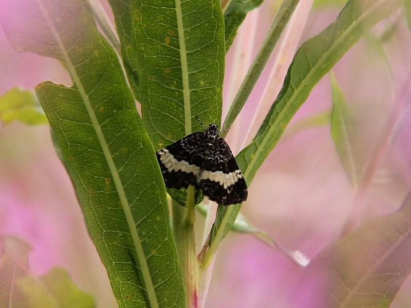Foto/billede af Sørgemåler (Spargania luctuata)