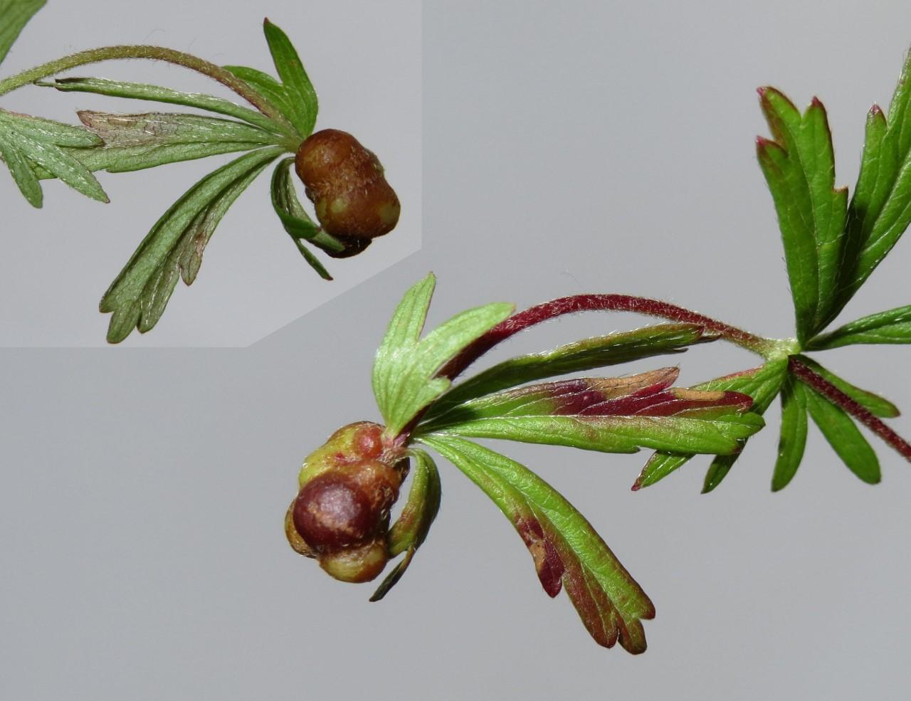 Xestophanes brevitarsis