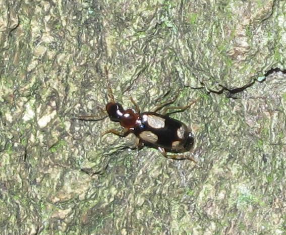 Fireplettet Barkløber (Dromius quadrimaculatus)
