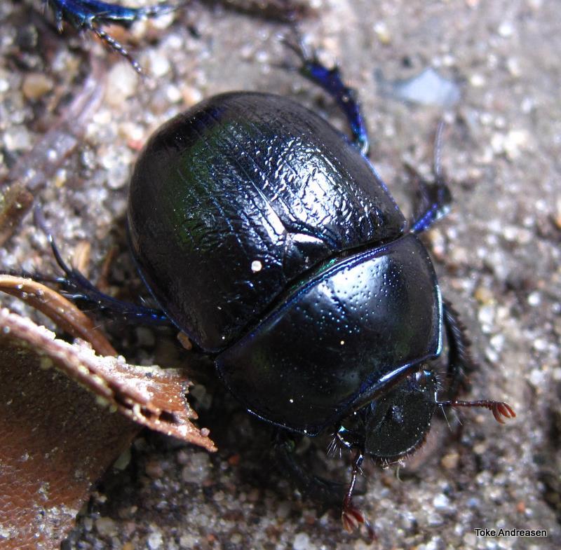 Foto/billede af Skovskarnbasse (Anoplotrupes stercorosus)