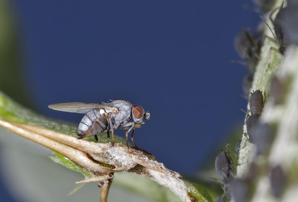 Leucopis sp. (Leucopis sp.)
