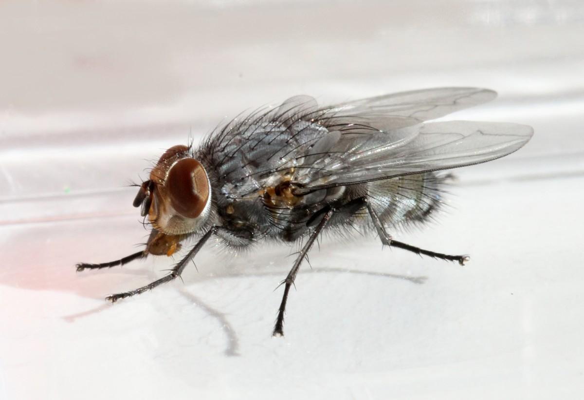 Calliphora vicina (Calliphora vicina)
