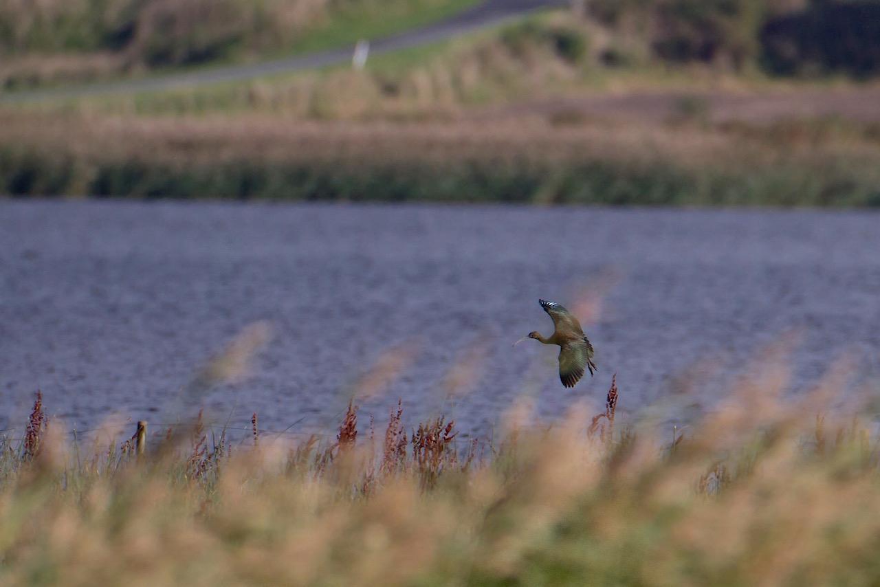 Foto/billede af Sort Ibis (Plegadis falcinellus)