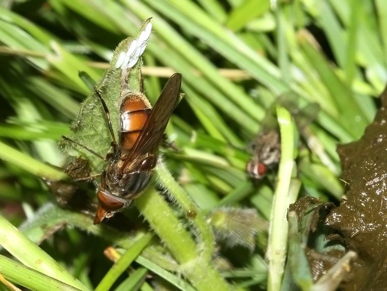 Foto/billede af Mark-snabelsvirreflue (Rhingia campestris)