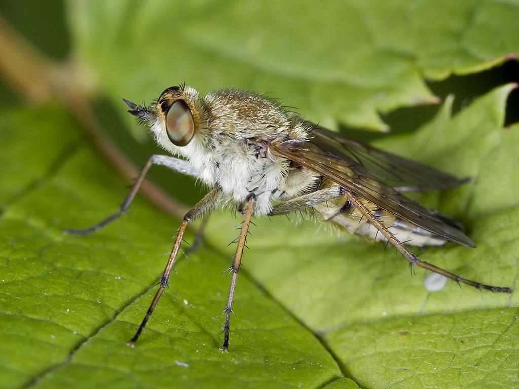 Almindelig Stiletflue (Thereva nobilitata)