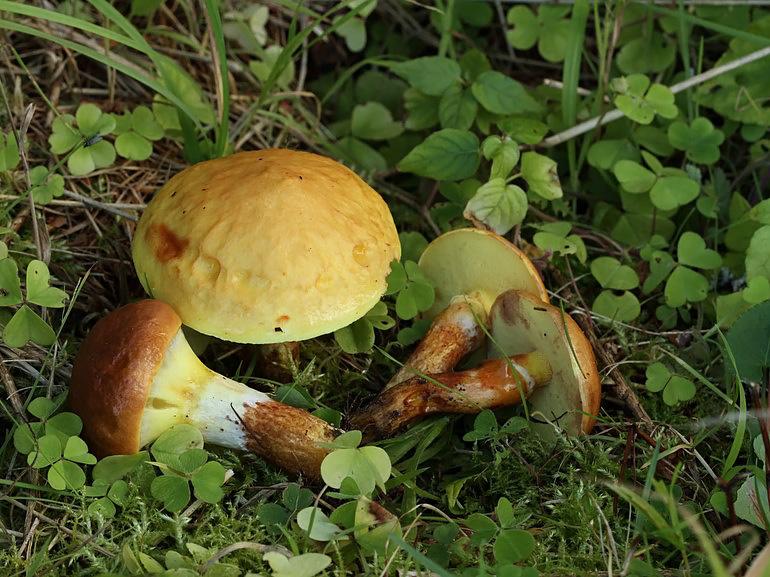 Lærke-Slimrørhat (Suillus grevillei var. grevillei)