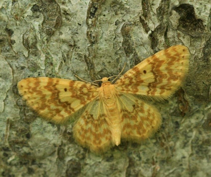 Foto/billede af Gulflammet Bladmåler (Hydrelia flammeolaria)