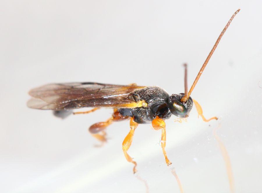 Triclistus sp.