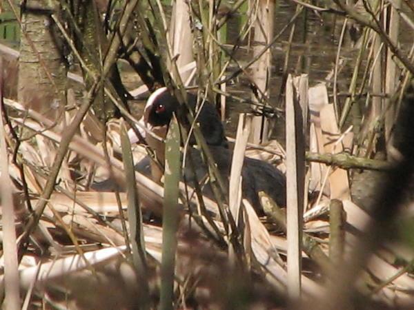 Blishøne (Fulica atra)